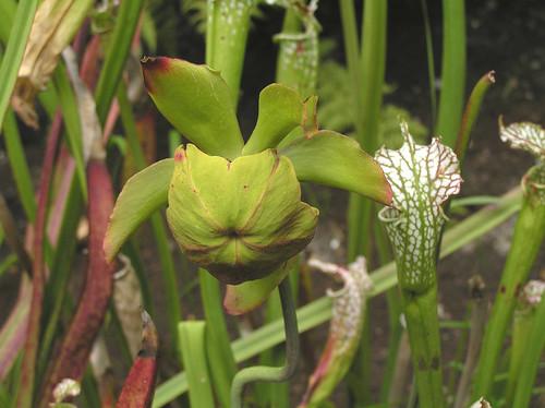 長葉瓶子草 Sarracenia leucophylla [阿姆斯特丹植物園 Hortus Botanicus, A… | Flickr