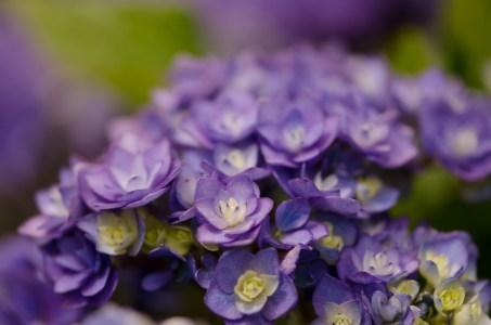 Double Lavender Hydrangea Petals