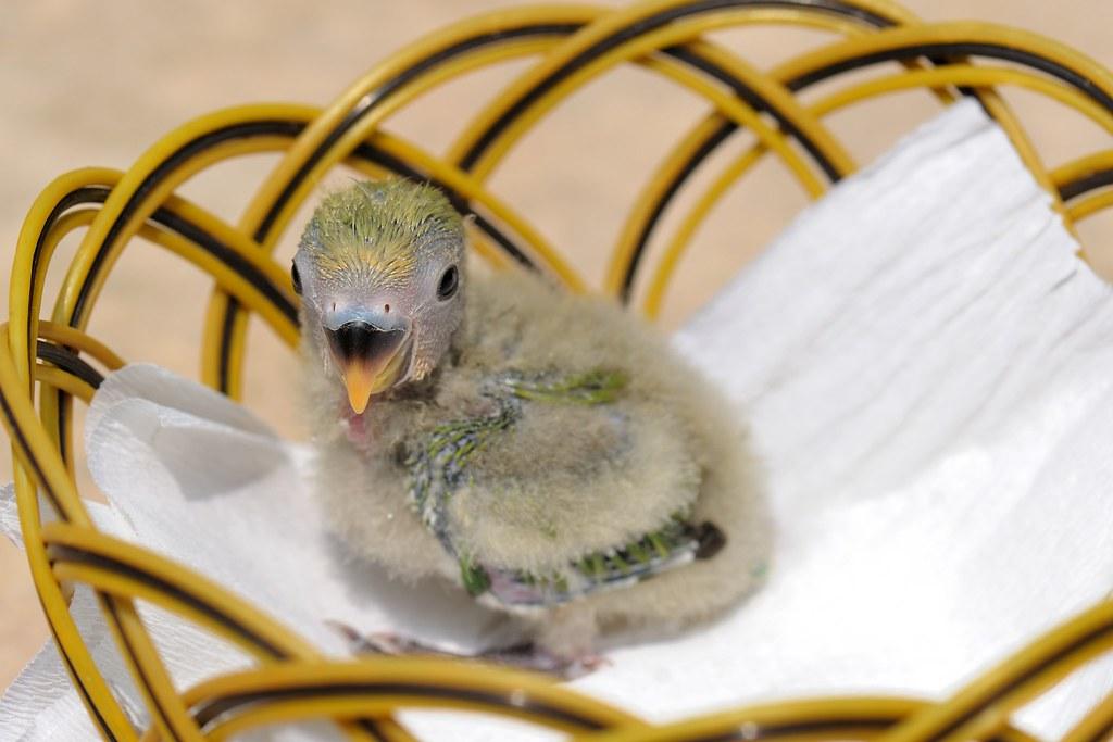 TCY_1431   牡丹鸚鵡-艾莉絲與小綠綠   蘇州一隅   Flickr