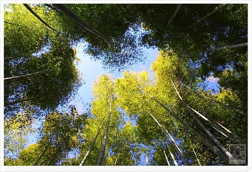 高臺寺楓葉 Maple Leaves in Kodaiji Temple   Jack Lee   Flickr