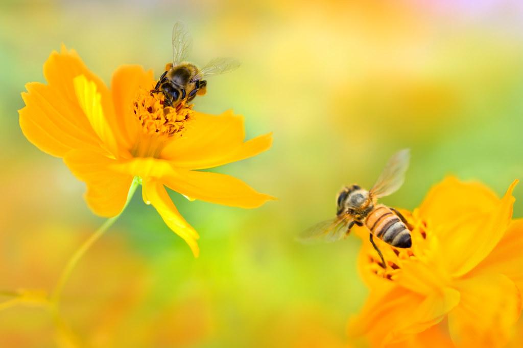Busy Little Bees on Cosmoses - 忙碌的小蜜蜂在波斯菊上   檔名File name: 忙碌…   Flickr