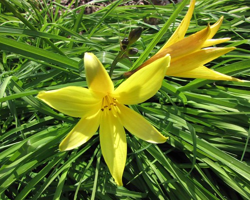 小黃花菜 Hemerocallis minor [比利時國家植物園 Belgium National Botanic…   Flickr