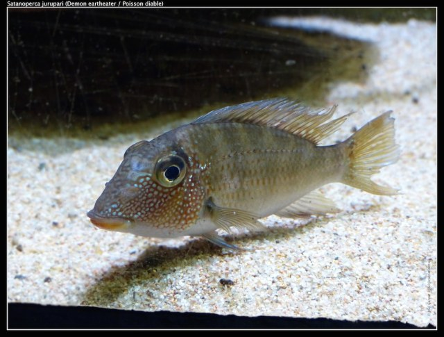 Image result for demon fish