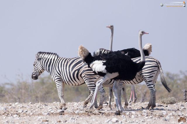 Plains zebras and ostrichs