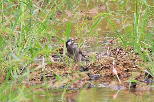 灰椋鳥 | 貢寮田寮洋賞鳥 | Chung-Yen Chang | Flickr