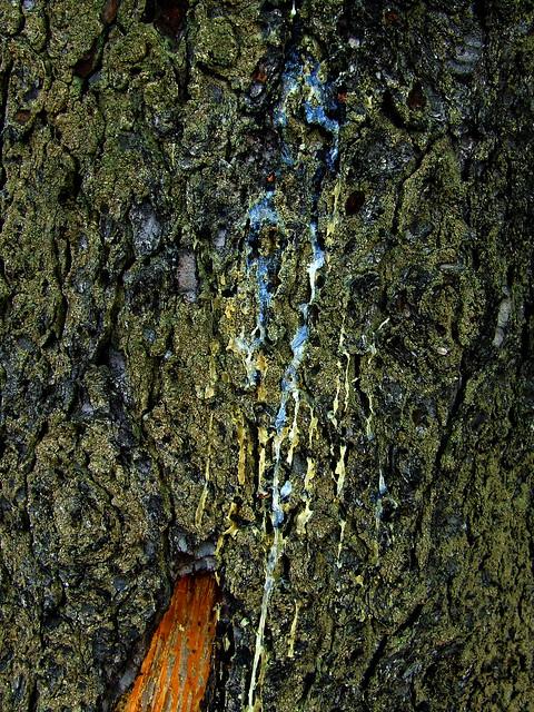 pine resin