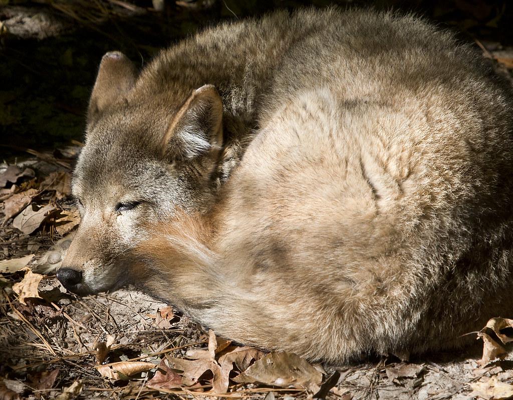 Virginia Living Museum Newport News Va Coyote