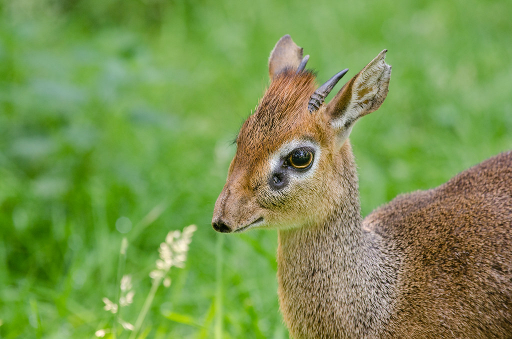 Kirks dikdik  Male Kirks dikdik They are so cute look  Flickr