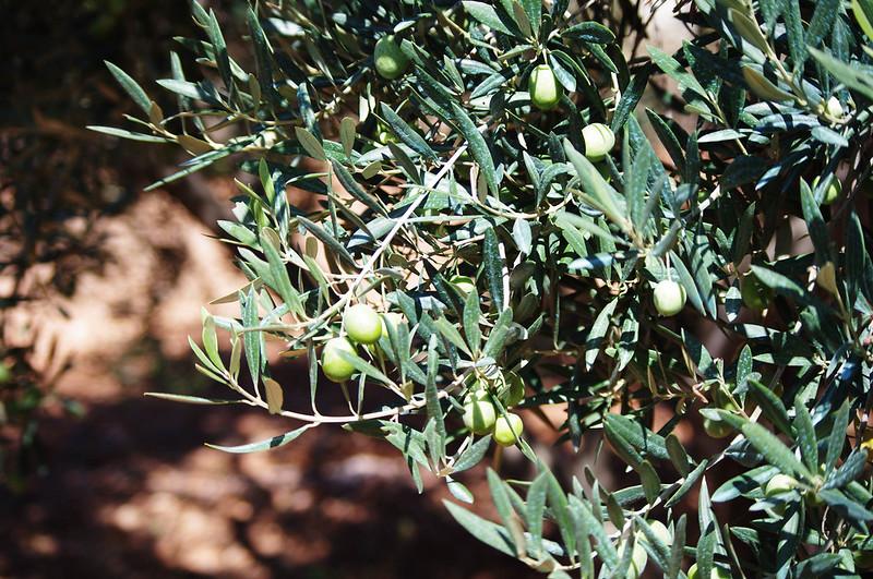 Olives du cru