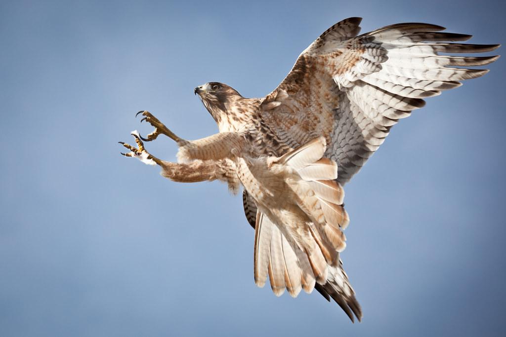 flying hawk tim miley