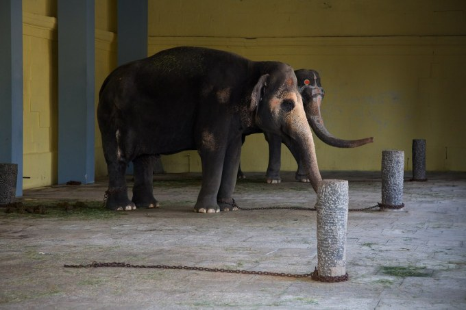 Chained Elephant Syndrome