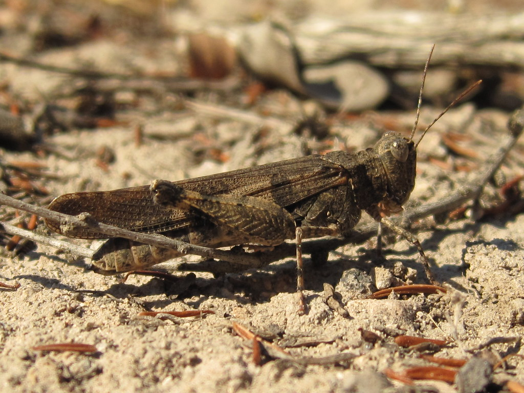 Fontana Grasshopper (Trimerotropis fontana. family Acridid… | Flickr