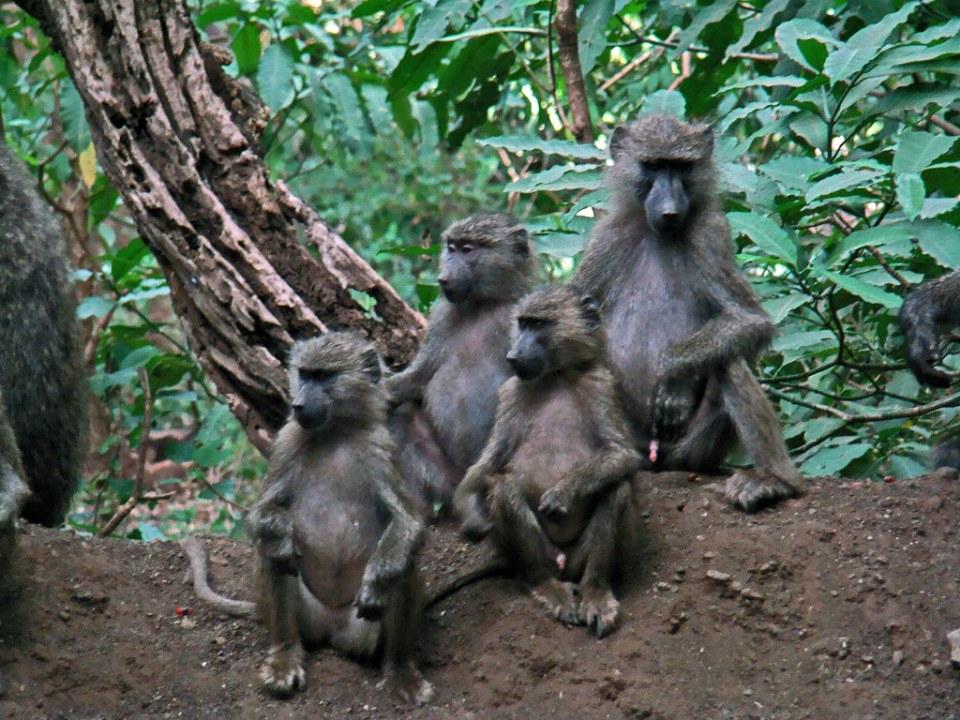 Mono babuino o papión de Anubis Safari Parque Nacional Lago Manyara Tanzania 12