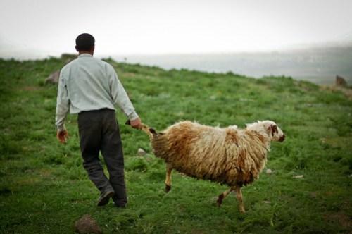 Resistant sheep