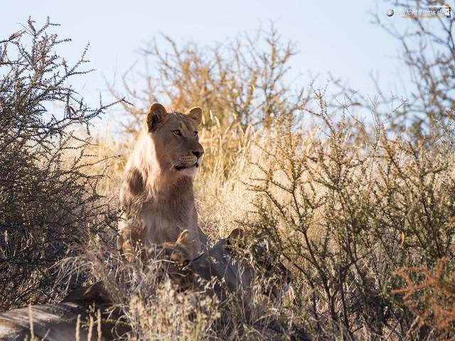 Kalahari Lions