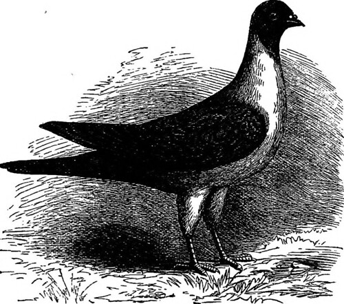 "Image from page 233 of ""The practical pigeon keeper "" (1891)"
