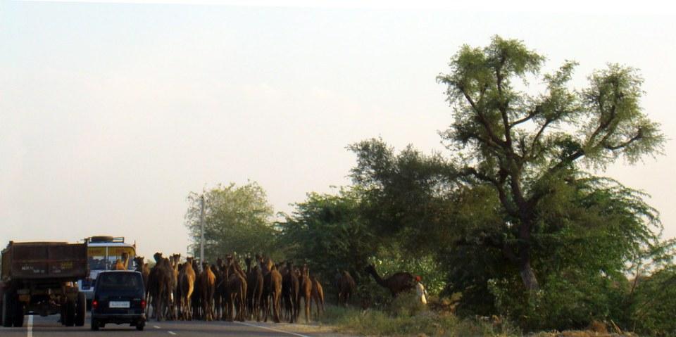 Jodhpur rebaño de camellos y dromedarios India 01
