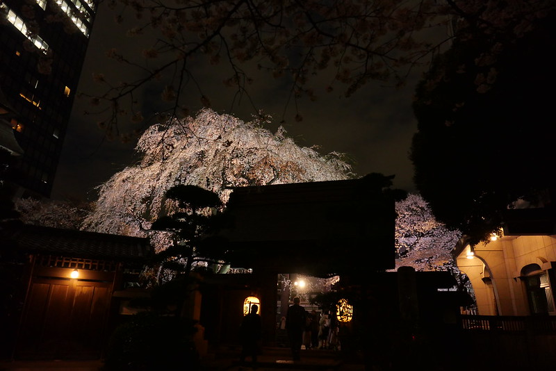 Joenji temple weeping cherry 16