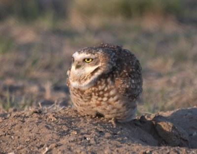 Burrowing Owl 19-21