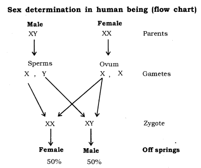 Heredity and Evolution Class 10 Notes Science Chapter 9 - Learn CBSE