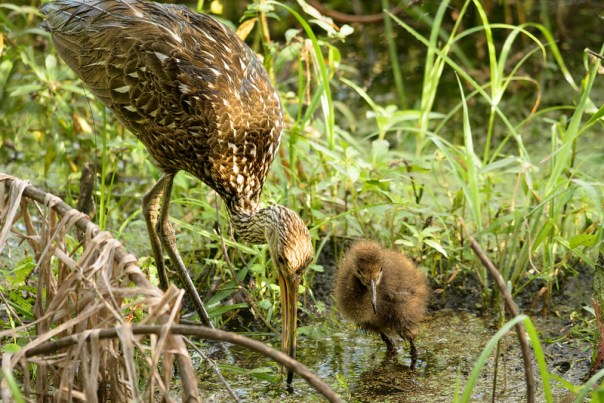 Momma Limpkin and baby