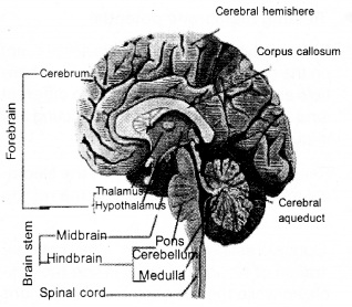 HSSLiVE Plus One Zoology Chapter Wise Questions and Answers Chapter 10 Neural Control and Coordination 4
