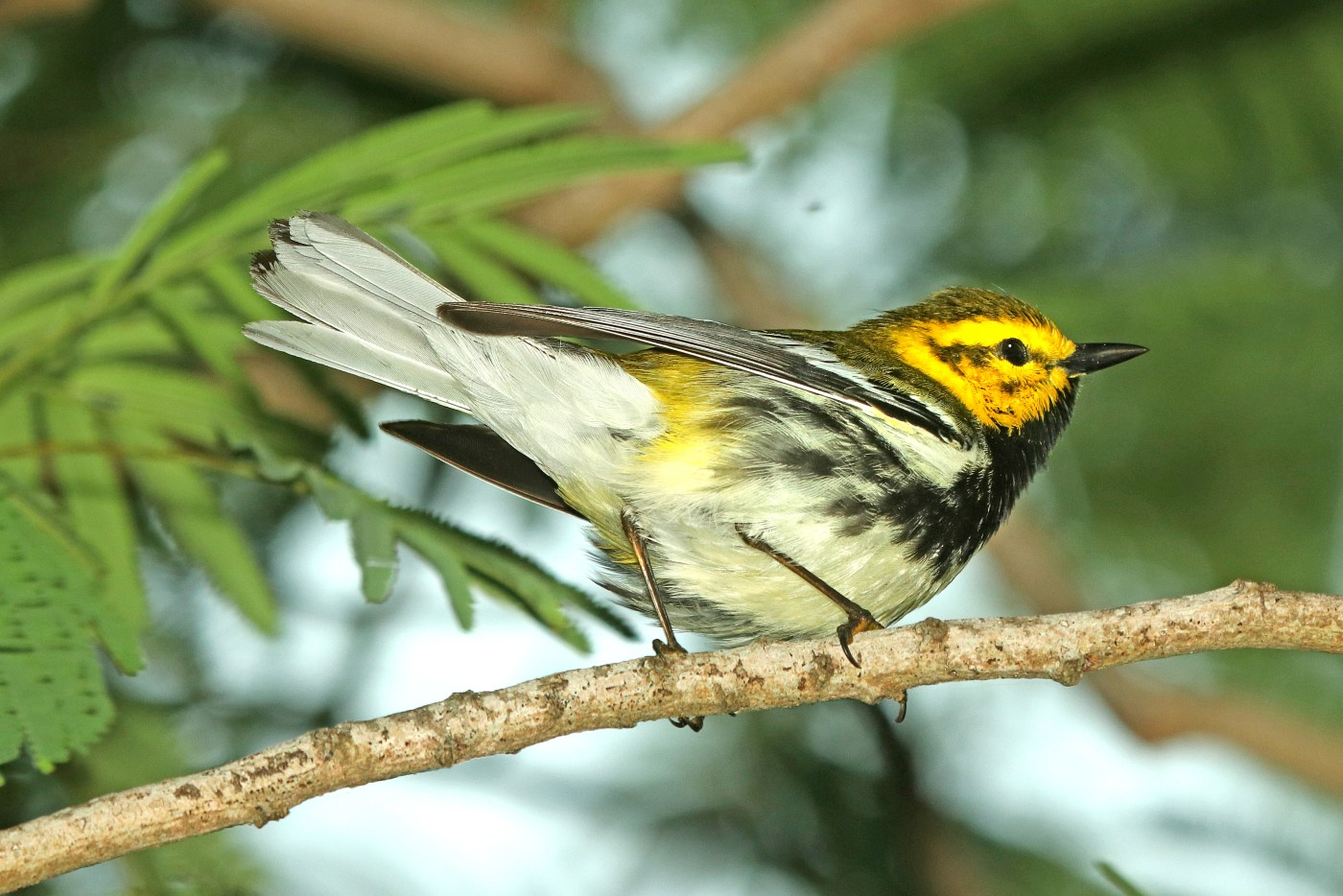 843 - BLACK-THROATED GREEN WARBLER (4-28-2019) convention center, south padre island, cameron co, tx -02