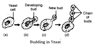 How do Organisms Reproduce Class 10 Notes Science Chapter 8 2.1