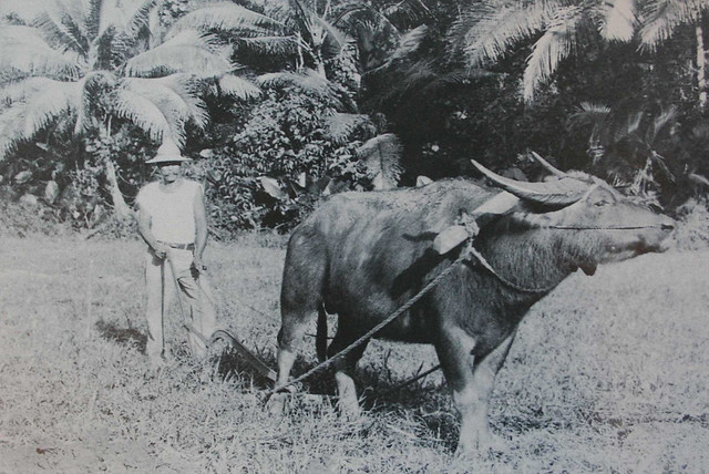 Farmer and His Carabao in the Rice Fields
