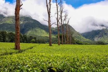 Aan de voet van de Mulanje Mountain verbouwt men voornamelijk thee.