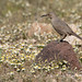 Curve-billed Thrasher 1079