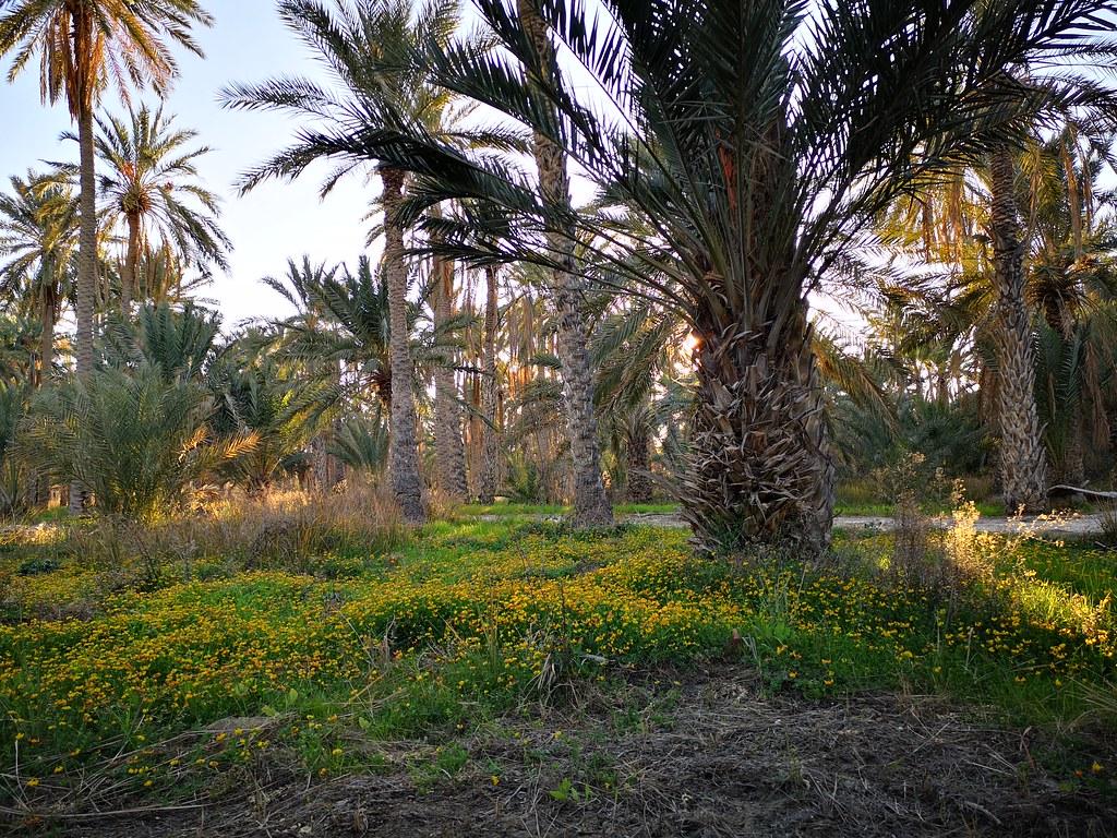 palmeral Oasis de Nefta o Nafta Tunez 08