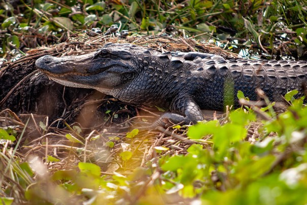 Momma gator guarding nest and 3 babies
