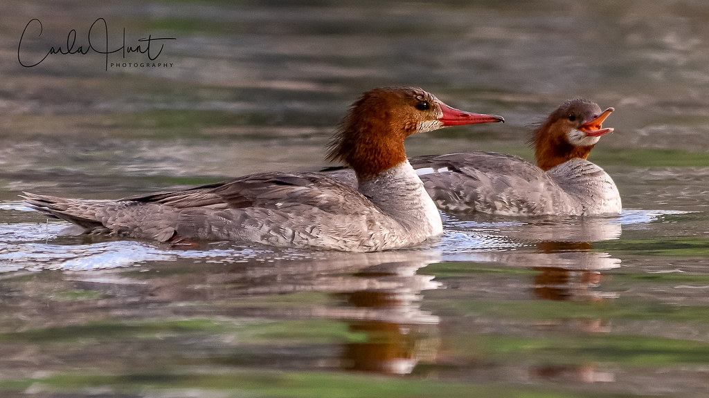 Common Mergansers, Vernon, BC