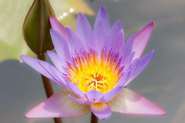 Ayutthaya / Lotus Flower - 20/02/2018 12h33