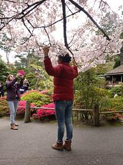 Cherry Blossom Tourism SR600472