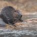 North American Beaver   Castor canadensis   Castor