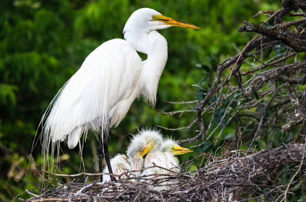 Great Egret Mom and chicks