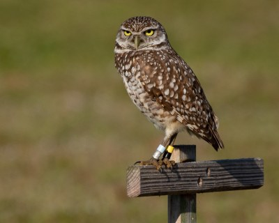 Burrowing Owl with Jewelry