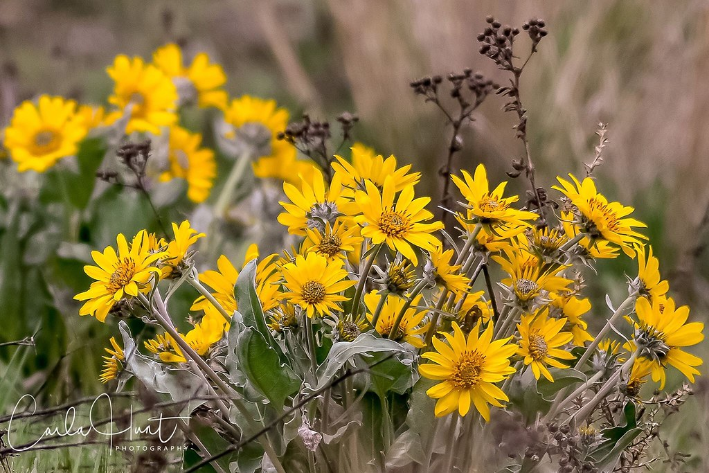 My favourite wildflowers are just starting to bloom around Vernon, the arrowleaf balsamroot :grinning:
