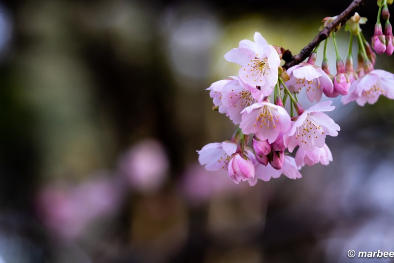 In memory of the bygone cherry blossoms
