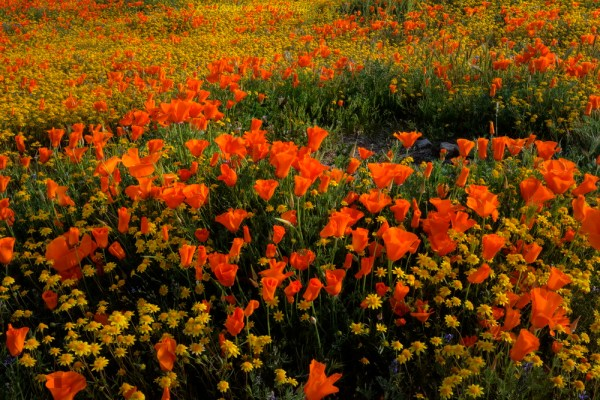Mellow orange of the California poppy Something about