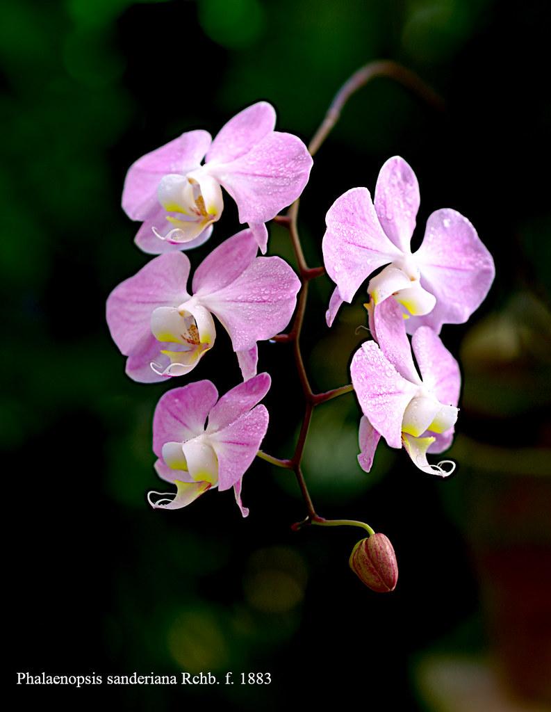 Phalaenopsis sanderiana Rchb. f. 1883 | ntgerald | Flickr
