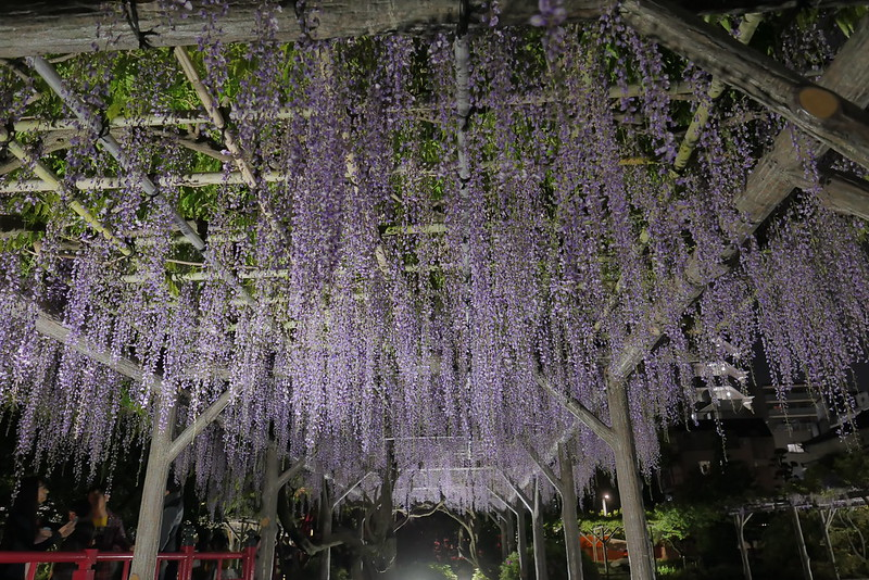 Kameido Tenjin Shrine wisteria festival 12