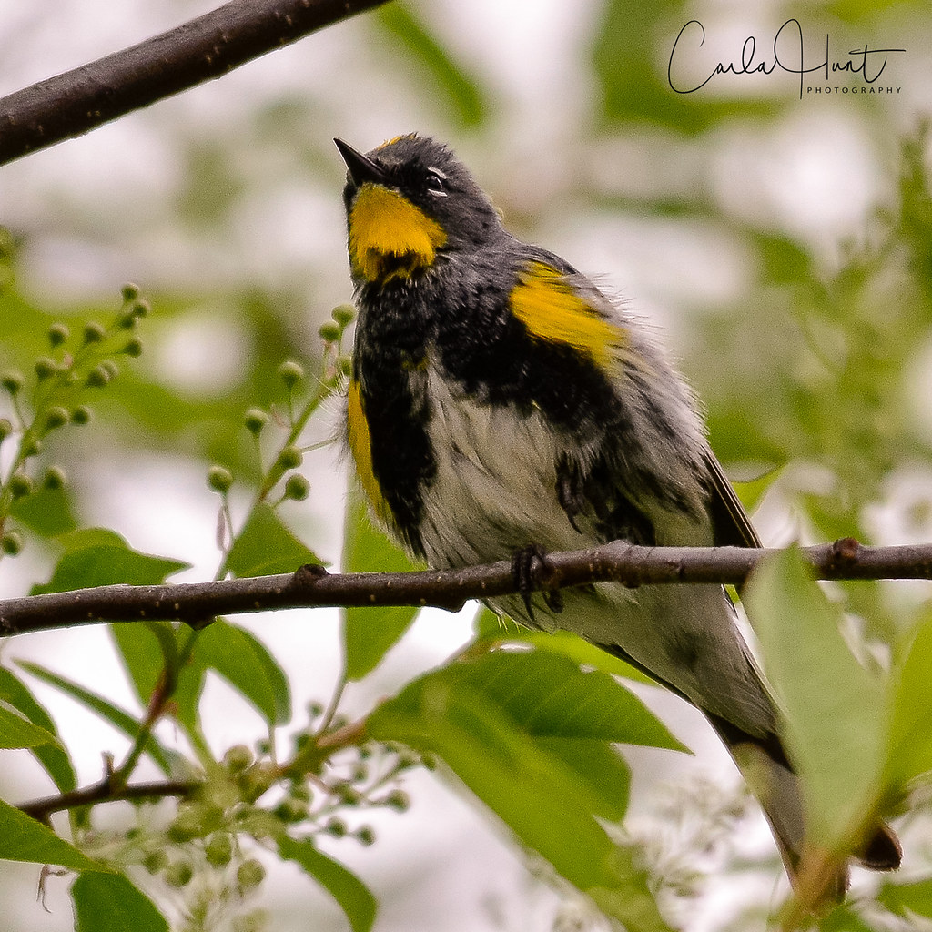 Yellow-rumped Warbler, Vernon, BC
