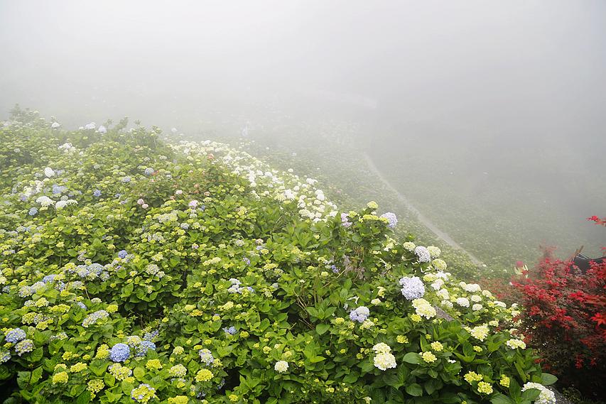 台北旅遊,大梯田花卉生態農園,季節限定,竹子湖,繡球花,賞花景點,陽明山 @VIVIYU小世界