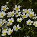 Schild-Wasserhahnenfuß (Ranunculus peltatus) in einem Entwässerungsgraben; Bergenhusen, Stapelholm (84)