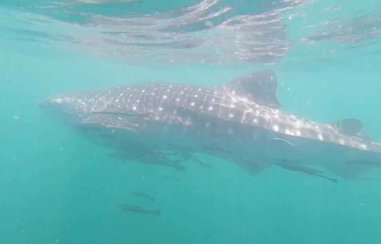 เจ้าฉลามวาฬมักมาพร้อมกับเหล่าบริวาร
