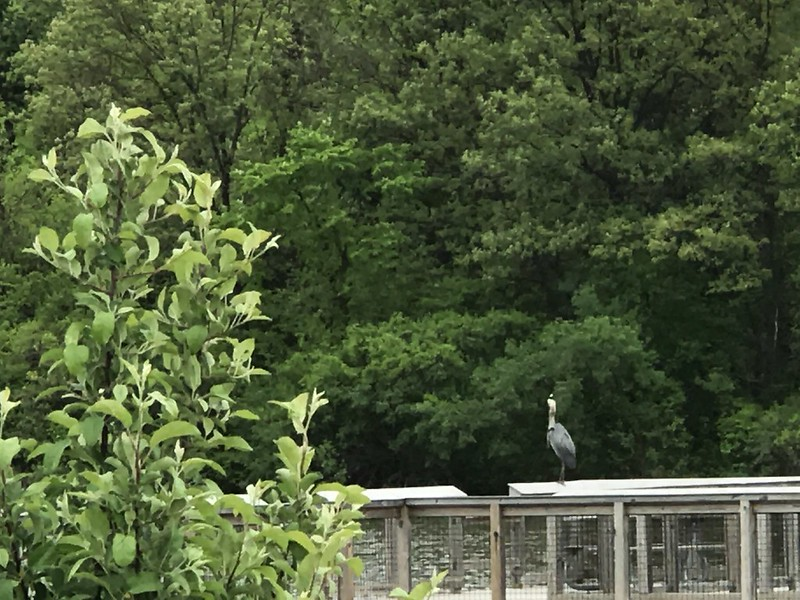 Great blue heron at Camp Bullfrog Lake