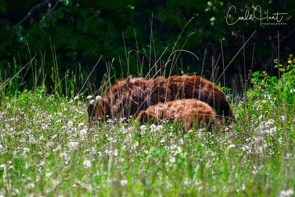 Mama and one of her three cubs foraging, North Okanagan, BC